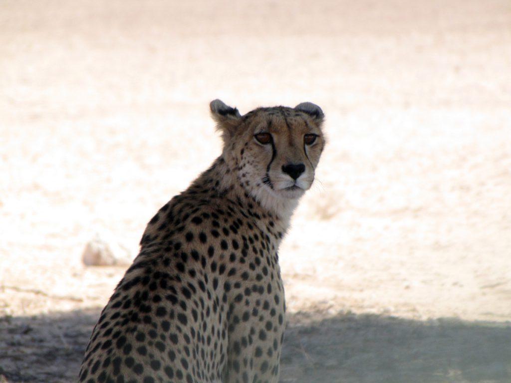 Gepard in der Kgalagadi